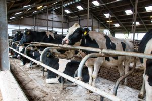 Klauwverzorging bij melkvee