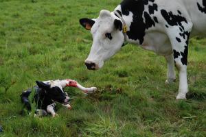 Vruchtbaarheid melkvee