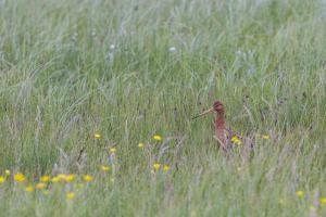 Positieve bijdrage van weidegang aan weidevogels wordt onderzocht