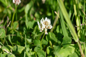 Alles over onkruidbestrijding in grasland, grasklaver en kruidenrijk grasland