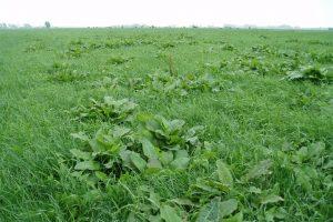 Nu gunstige omstandigheden voor onkruidbestrijding in grasland