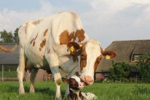 Verlengen lactatie leidt tot gelijke dagproductie en drachtpercentages