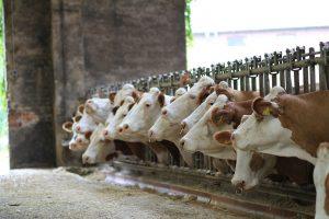 Leptospirose vastgesteld op 7 melkveebedrijven