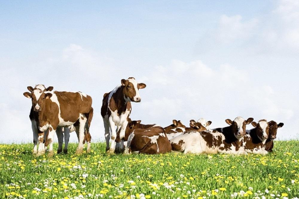 Levensproductie per koe stijgt naar recordhoogte