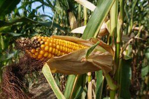 Organische stof toevoegen na de teelt van maïs