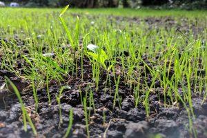 DLF Seeds Group: Ondanks corona toch recordomzet