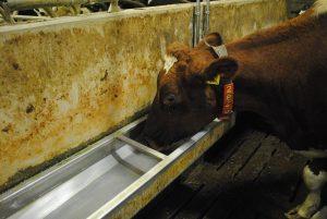 Melkveehouder laat kansen liggen in de drinkbak
