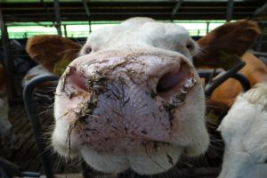 aanbindstal melkveehouderij