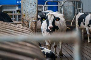 ammoniakreductie melkveehouders nederland en vlaanderen