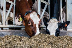Vakbonden akkoord met eindbod productiegerichte dierhouderij