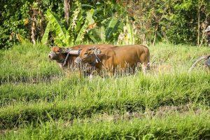 FrieslandCampina breidt uit in Indonesië
