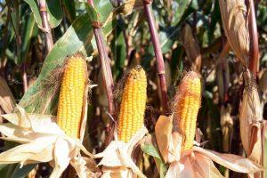 Bescherm uw mais tegen vogels en insecten