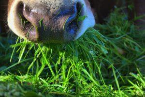 De Weideman: Graaskoeien fokken
