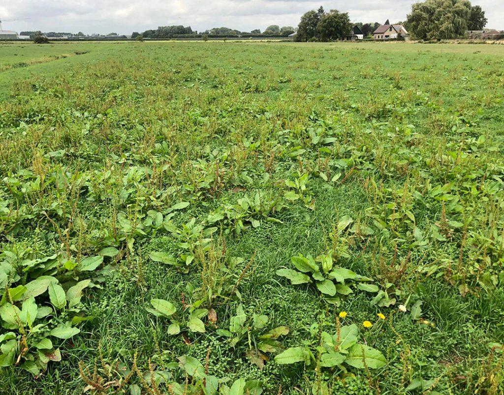 Onkruidbestrijding in grasland: Meer ruwvoer van eigen bodem