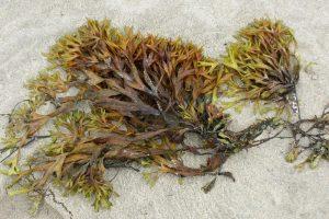 Kan zeewier de uitstoot van methaan verminderen?