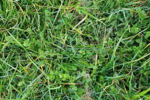 Nu geschikt moment voor onkruidbestrijding in grasland