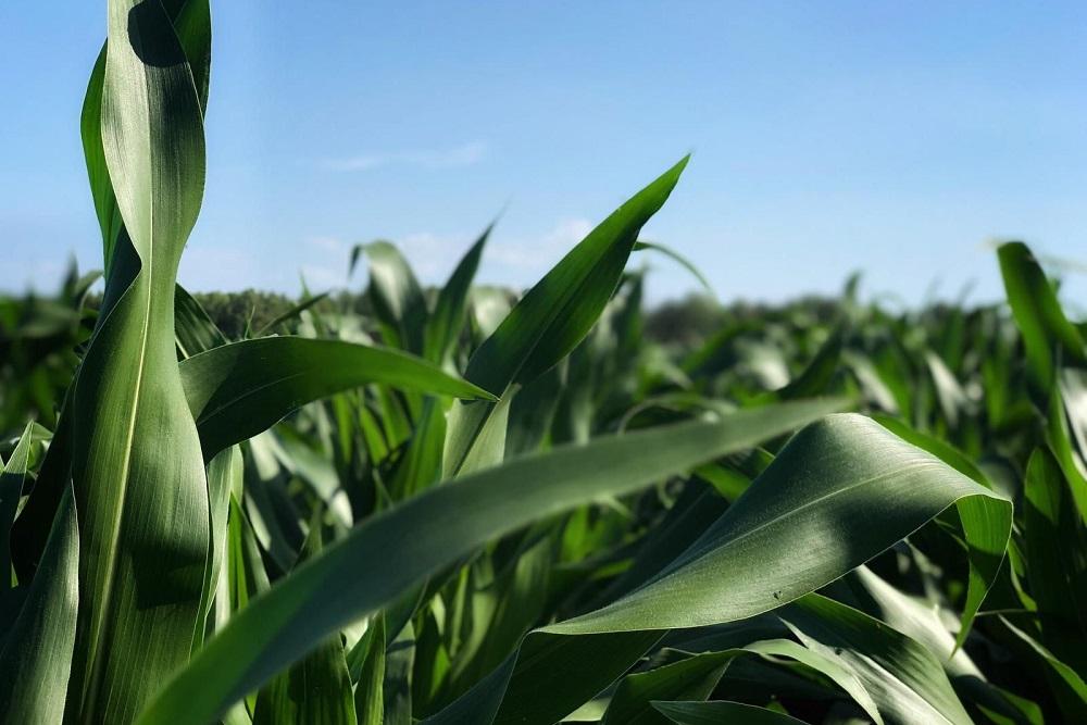 Nov@ zorgt voor extra wortelontwikkeling, betere opname nutriënten en verhoogt de stresstolerantie met als resultaat: meer mais! Wilt u meer weten over Nov@ lees dan verder.