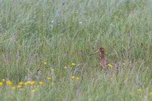 Boerenlandvogels onder druk: nestsucces broedvogels gedaald