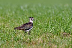 LTO Noord: Boeren zorgen voor weidevogels