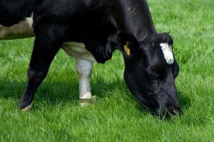 Ammoniakemissie verlagen door sturen op eiwit in het rantsoen