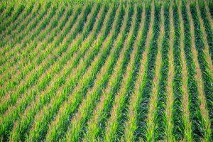 Wat zijn de verschillen in stikstofbenutting tussen maisrassen?