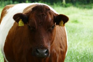 Wat is de meerwaarde van zeldzame veerassen bij ecologische landbouw?
