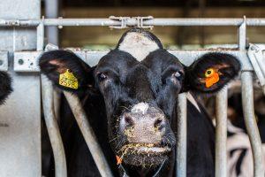 Onderzoek: benutting van voedselverspilling voor duurzaam veevoer
