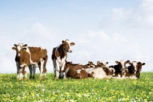 Jongvee-beweidingsonderzoek in productief kruidenrijk grasland
