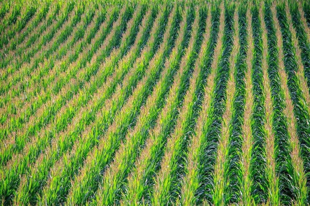 Stikstofvanggewas na maïs: bodemverbeteraar en stikstofbron