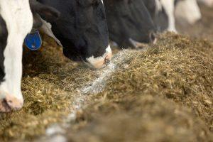 Fosfor uit ruwvoer: Is de fosforvoorziening op orde?