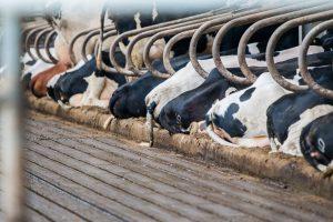 Een tochtige koe: al insemineren of nog niet?