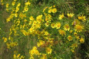 Jacobskruiskruid: Jacobskruiskruid: Voorkom giftige planten in kuilenVoorkom giftige planten in kuilen