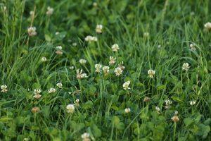 Houd kalivoorziening op peil in grasklavermengsels