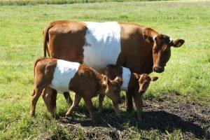 Zeldzame rassen: Hebben oud-Nederlandse runderrassen de toekomst? - lakenvelder