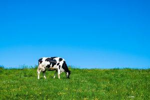 Wat doet een melkveehouder als een koe aan de nageboorte blijft staan?
