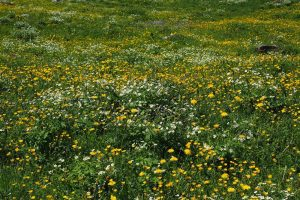 1001 hectare kruidenrijk grasland extra dankzij LNV