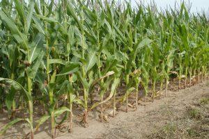 Formeel uitstel voor inzaai vanggewas na maïs aangevraagd