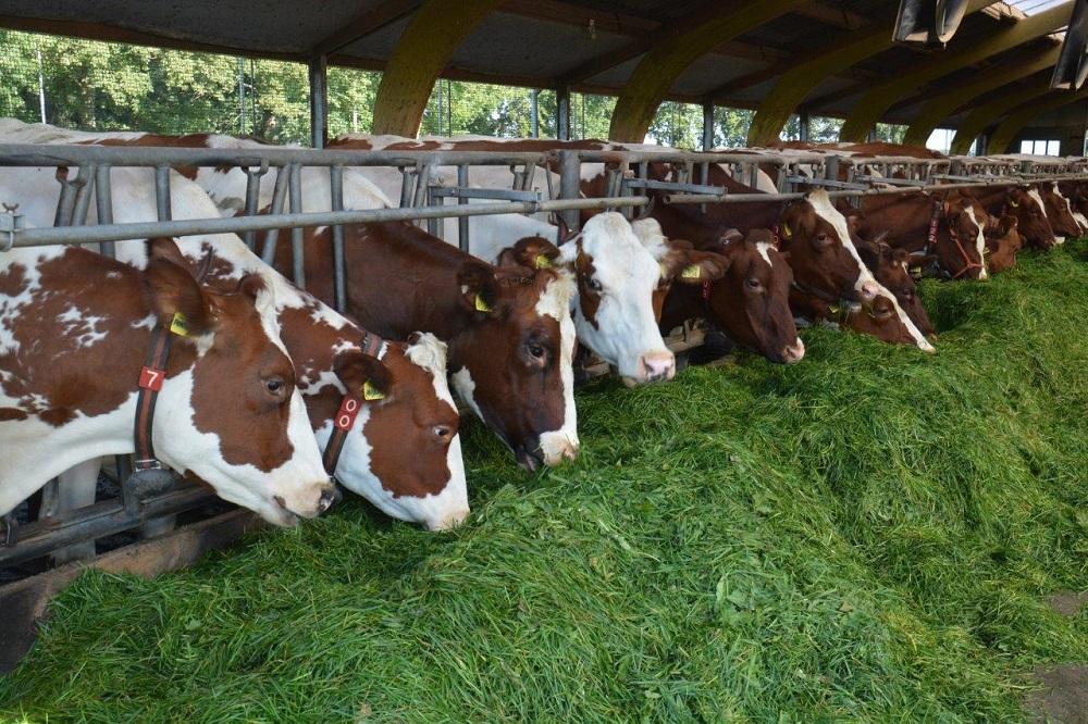 Biologisch melkvee in het najaar: hoe pak ik de voerstrategie aan?
