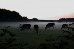 Eiwit in het gras stijgt, voederwaarde neemt af